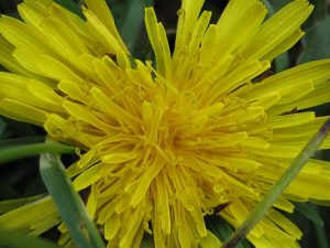 The Benefits of Dandelion