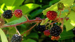 Blackberry Bonanza