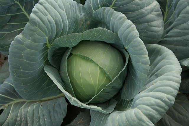 Focus on Cabbage
